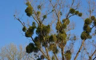 Растения паразиты примеры с фото