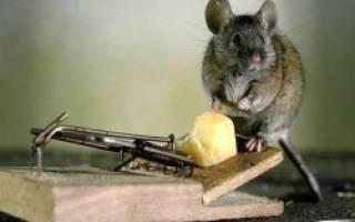 Как быстро избавиться от мышей в доме?