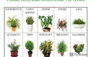 Комнатные растения в школе фото название