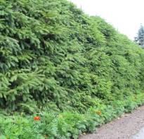 Растения для живой изгороди быстрорастущие в Подмосковье